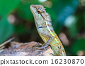 Green crested lizard 16230870
