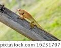 Brown lizard 16231707