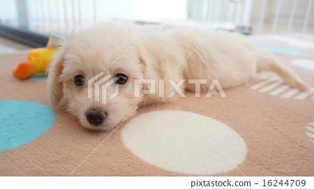 강아지 믹스 개 크림 (토이 푸들 × 미니어처 닥스 훈트) 16244709