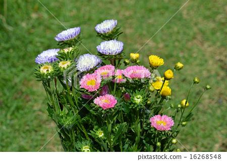 捆綁的紫菀(Ezo chrysanthemum)<夏季詞> 16268548