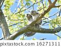 貓頭鷹 長尾林鴞 小雞 16271311