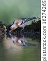 Common chaffinch (Fringilla coelebs) 16274265