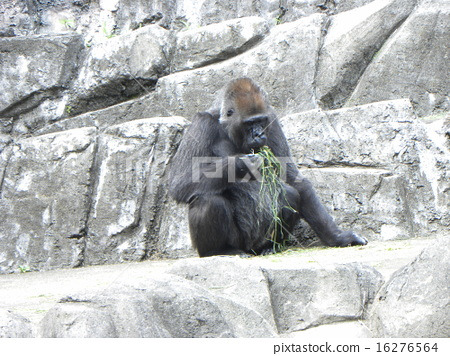 Gorilla to eat at Gorilla mountain 16276564