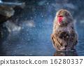 雪猴 猴子 溫泉 16280337