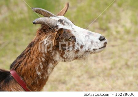 goat 16289030