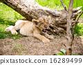 panthera leo, yawns, yawning 16289499