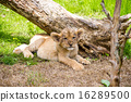 panthera leo, outside, endangered species 16289500
