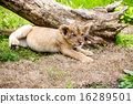 panthera leo, outside, endangered species 16289501