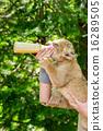 milk, panthera leo, japan 16289505