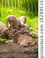 king of beasts, baby, panthera leo 16289515