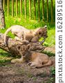 百獸之王 富士公園 貓科 16289516
