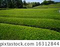 shizuoka prefecture, green, verdure 16312844