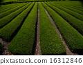 shizuoka prefecture, green, verdure 16312846