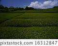 shizuoka prefecture, green, verdure 16312847