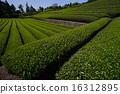 shizuoka prefecture, green, verdure 16312895