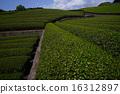 shizuoka prefecture, green, verdure 16312897