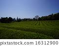 shizuoka prefecture, green, verdure 16312900