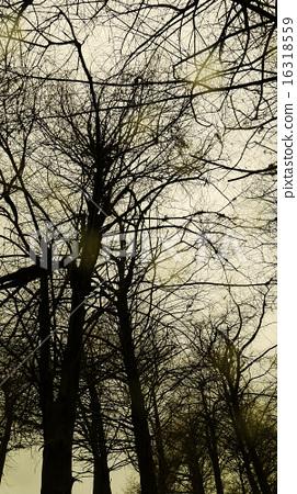 落葉松  樹枝  灰色背景   16318559