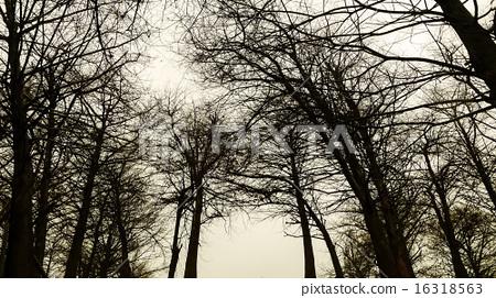 落葉松  樹枝  灰色背景   16318563