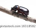 Rhinoceros beetle 16318582