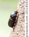 Rhinoceros beetle climb 16318583