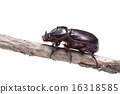 Rhinoceros beetle on branches 16318585