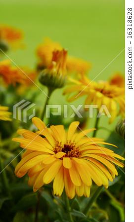 金盞花  藥用植物  花  染料  背景素材 16318628