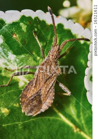 Brown bug 16321611