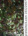 獼猴桃 16322067