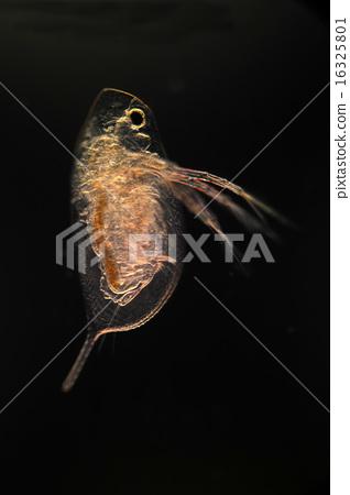 Daphnia 16325801