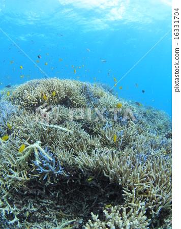 分叉珊瑚 西表岛 热带鱼 16331704