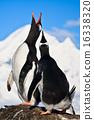 Singing penguins 16338320