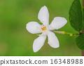 gardenia flower 16348988