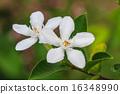 gardenia flower 16348990
