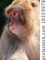 japanese, monkey, mammal 16359978