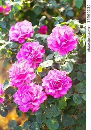 玫瑰天使的臉 16369239