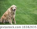 golden retriever, retriever, dog 16382635