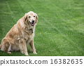 golden retriever, animals, animal 16382635