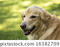 golden retriever, retriever, dog 16382709