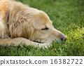golden retriever, retriever, dog 16382722