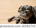 toy dog, dogs, dog 16382742