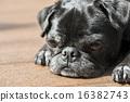 toy dog, dogs, dog 16382743