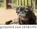 toy dog, dogs, dog 16382745