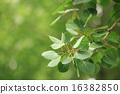 poplar, leaves, leafs 16382850