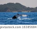 chichi-jima, humpback, whale 16385684