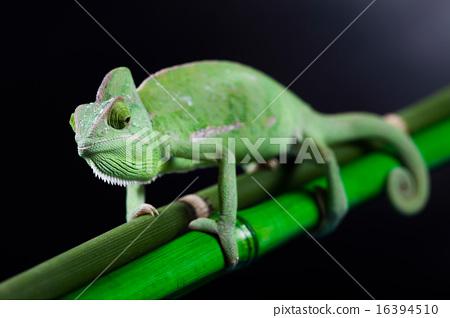 Colorful Chameleon, bright vivid exotic climate 16394510