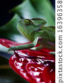 Flower on chameleon, bright vivid exotic climate 16396358