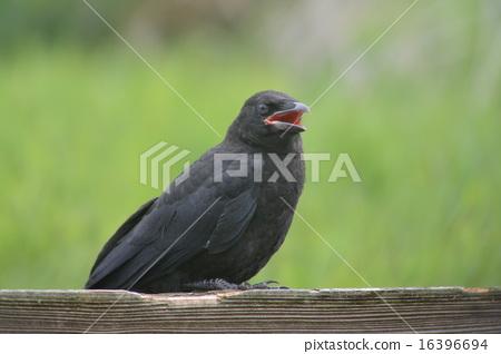 烏鴉的幼鳥 16396694
