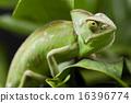Flower on chameleon, bright vivid exotic climate 16396774