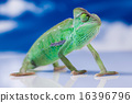 Chameleon on the blue sky, bright vivid exotic  16396796
